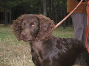 Boykin Spaniel here for dog trials