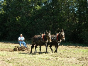 Mule Plowing Demonstration