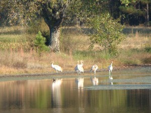 Whooping Cranes on pond